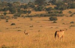 Caccia della leonessa Immagini Stock Libere da Diritti