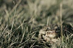 Caccia della rana Immagini Stock
