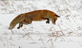 Caccia della volpe rossa Fotografia Stock