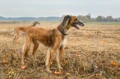 Caccia di autunno con i cani Immagine Stock Libera da Diritti
