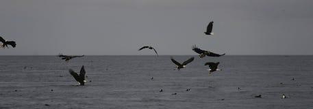 Caccia di Eagles calvo Fotografia Stock Libera da Diritti