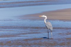 Caccia di Grey Heron sul litorale immagini stock