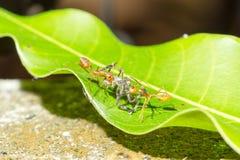 Caccia di lavoro di squadra delle formiche sul verde Fotografie Stock Libere da Diritti