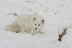 Caccia di volpe artica per l'alimento su una collina della neve con gli artigli estesi i fotografie stock libere da diritti