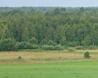 Caccia di volpe rossa Fotografie Stock