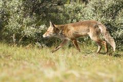 Caccia di volpe rossa Immagini Stock Libere da Diritti