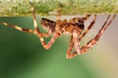 Caccia di Wolf Spider del giardino Fotografia Stock Libera da Diritti