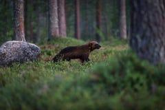 Caccia di Wolverine nella foresta Fotografia Stock Libera da Diritti