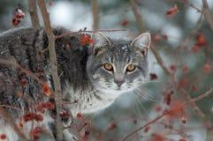 Caccia grigia del gatto Fotografie Stock Libere da Diritti