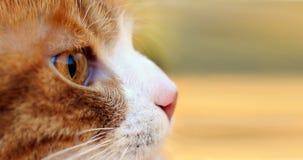 Caccia rossa del gatto all'aperto Immagine Stock