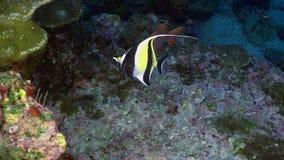 Caccia rossa della rana pescatrice del pescatore del pesce sulla scogliera rocciosa video d archivio