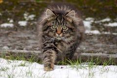 Caccia selvaggia del gattino del soriano nella neve Immagine Stock