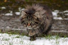 Caccia selvaggia del gattino del soriano nella neve Fotografie Stock