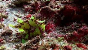 Caccia verde del anglerfishe del pescatore del pesce in barriere coralline video d archivio