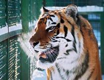 Cacciatore arancio della tigre sul ritratto della neve Immagini Stock