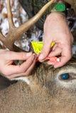 Cacciatore che applica un'etichetta di quota di caccia dei cervi Fotografia Stock Libera da Diritti