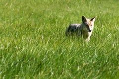 Cacciatore del coyote Fotografia Stock