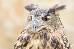 Cacciatore di notte calma dell'uccello del gufo reale o del Bubo Fotografia Stock
