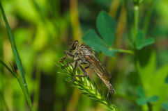 Cacciatore sopra degli insetti fotografie stock libere da diritti