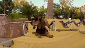 Cace os óculos de sol vestindo do cão que sitiing em uma espreguiçadeira do verão video estoque