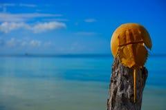 Cacerola de mar Limulus polyphemus Mexico. Cacerola de mar Limulus polyphemus horseshoe crab in Mexico royalty free stock image