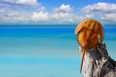 Cacerola de mar Limulus polyphemus Mexico. Cacerola de mar Limulus polyphemus horseshoe crab in Mexico royalty free stock photos