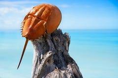 Cacerola de mar Limulus polyphemus Mexico. Cacerola de mar Limulus polyphemus horseshoe crab in Mexico stock photography