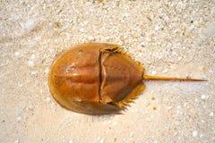 Cacerola de mar Limulus polyphemus Mexico. Cacerola de mar Limulus polyphemus horseshoe crab in Mexico stock photos