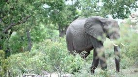 Cacerola de un elefante que camina a través del arbusto en el parque nacional Suráfrica del kruger almacen de video