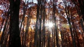 Cacerola del bosque del otoño, llamarada de la lente almacen de video