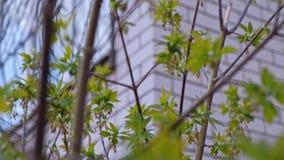 Cacerola encima del árbol de la primavera del og del lanzamiento metrajes