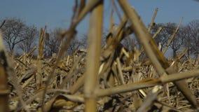Cacerola lenta cosechada del campo de maíz almacen de video