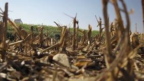 Cacerola lenta cosechada del campo de maíz metrajes