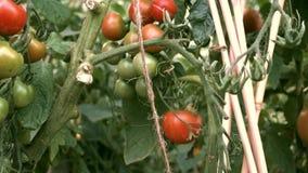 Cacerola lenta de la derecha hacia la izquierda sobre las plantas de tomate crecientes en huerto vegetal orgánico almacen de metraje de vídeo