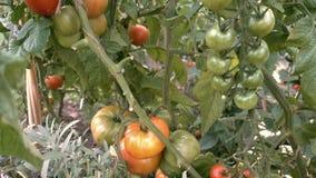 Cacerola lenta de la parte inferior a rematar sobre las plantas de tomate crecientes en huerto vegetal orgánico almacen de video