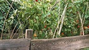 Cacerola lenta sobre las plantas de tomate crecientes en cama aumentada en huerto vegetal orgánico metrajes