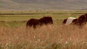 Cacerolas de la cámara con los caballos almacen de video