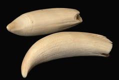Cachalot de la ballena del diente Fotografía de archivo libre de regalías