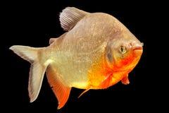 Cachama Fish Studio Aquarium Shot Royalty Free Stock Photos