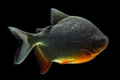 Cachama Or Pacu Stock Images