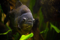 Cachama - Piranha Stock Photo