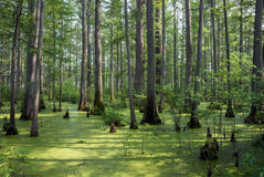 Cache River State Natural Area, Illinois, USA. Bald cypress with breathing roots, Cache River State Natural Area; Heron Pond Area, Illinois, USA stock photos
