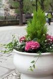 Cachepot met bloeiende hydrangea hortensia op straat Stock Foto