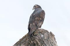 Cachette de faucon Image libre de droits