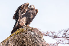 Cachette de faucon Photo stock