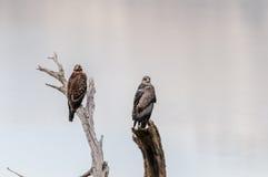Cachette de faucons Images libres de droits