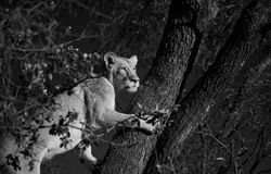 Cachette de lionne photographie stock