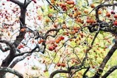 Cachi maturo nel parco nazionale a Hakone, Giappone fotografie stock libere da diritti