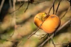 Cachi sul ramo dell'albero di cachi Stagione di autunno fotografia stock libera da diritti