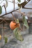 Cachi sull'albero Fotografia Stock